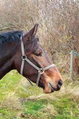 Brown horse head in profile
