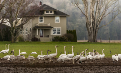 Trumpeter Swans in the Skagit Valley, Washington. One of Washington's most spectacular events is the return of the migrating birds to the Skagit Valley. Thousands return in the winter to feed.