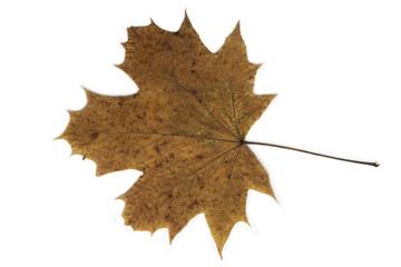 Brown dried maple leaf closeup.