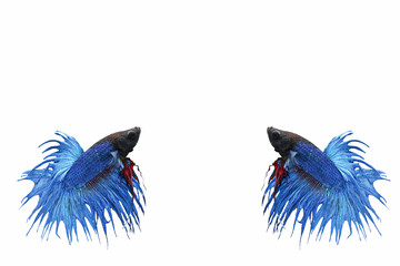 fighting fish on white background