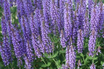 purple lavender flower blooming in the garden