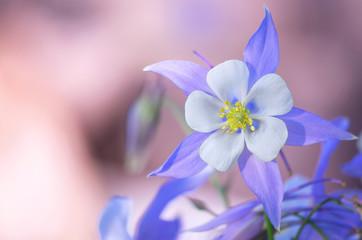Blooming Columbine flower and Bud, close-up. One beautiful bluish - purple flower Aquilegia laramensis ( America). Garden of blue Columbine flowers