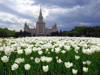 White sunny tulips and black silhouette of Moscow university on the stormy cloud background