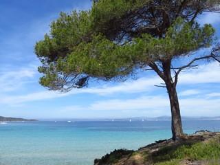 Porquerolles, pin parasol au bord de la mer (France)