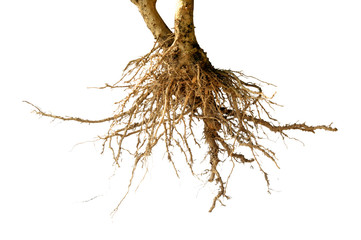 bare dead root tree isolated
