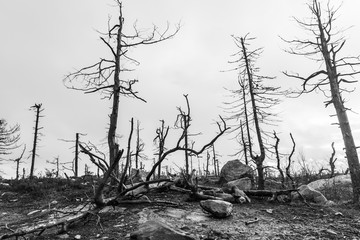 After Forest Fire. black and white