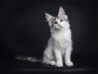 Maine Coon kitten sitting isolated on black background