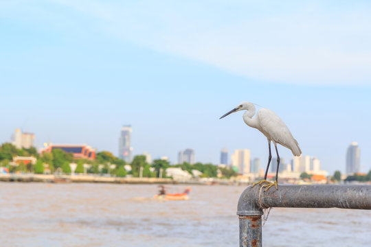 white Heron at the river in city
