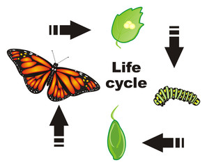 Butterfly, monarch, wings, flying, insect, nature, cartoon, black, orange, white, Arrows, cycle, stages, birth, eggs, caterpillar, cocoon, words