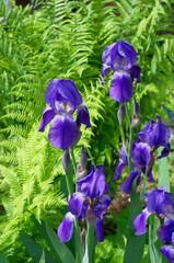 Purple Iris barbatus on the background of fern leaves