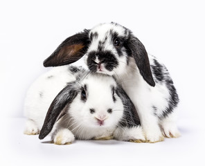 Couple of two black and white baby bunnies