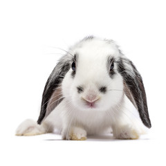 White with black baby bunny sitting isolated on white background