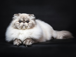 Tabby point Persian cat laying isolated on black background