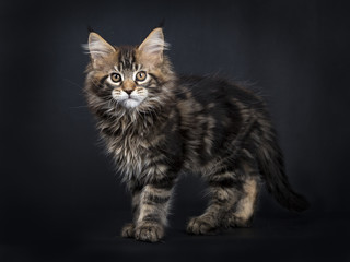 Black tabby Maine Coon kitten (Orchidvalley) standing isolated on black background facing camera