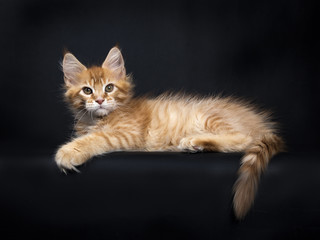 Red tabby Maine Coon kitten (Orchidvalley) laying isolated on black background with pas and tail hanging over edge