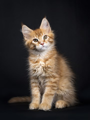 Red tabby Maine Coon kitten (Orchidvalley) sitting isolated on black background