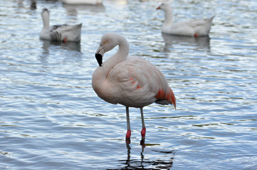 lonely Chilean flamingo (Phoenicopterus chilensis) at a public park at Buenos Aires, Argentina