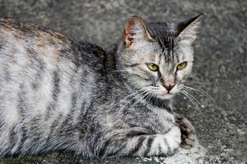 Gray cat lying on the pavement.