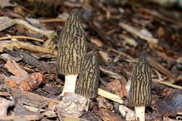 Gruppe von Spitzmorcheln, Morchella conica