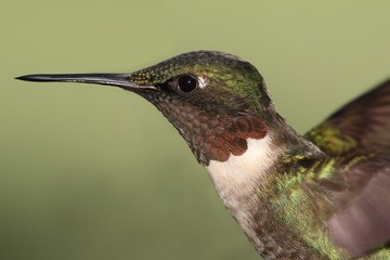 Fotoväggar - Ruby-throated Hummingbird (archilochus colubris)