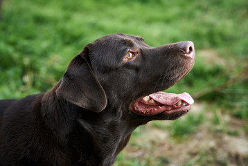 A dog labrador, a black dog, a labrador stuck out his tongue, a dog walks in the park