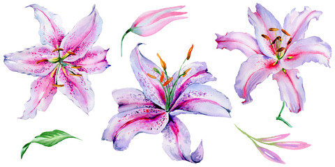 Wildflower lily flower in a watercolor style isolated.