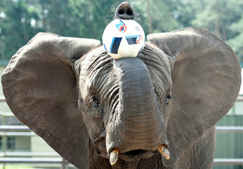 "Elephant Nelly plays with a ball, as an ""animal oracle"" to predict results of the Germany vs Ukraine match at Euro 2016, in the ""Safari Park"" in Hodenhagen"