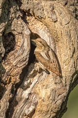 Eurasian Wryneck on Mulberry tree