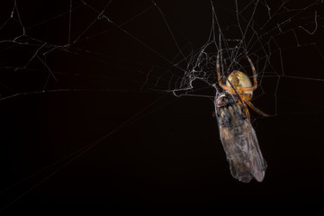 Spider eating fly caught in the net with black background