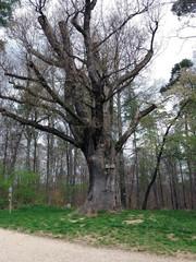 Toned image of 500 year old oak tree in Deutschland