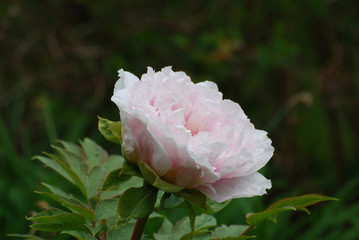 Perfect Pale Pink Peony Flower Blossom in a Garden