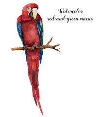 Watercolor red-and-green macaw. Hand painted parrot isolated on white background. Nature illustration with bird. For design, print or background.