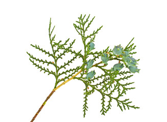 Twig of thuja with green cones isolated on white background