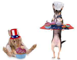 Cute chihuahua dog have make cupcakes for 4th of july day party
