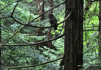 A Northern Spotted Owl sits on a tree branch on land owned by Green Diamond Resource Company, near Korbel