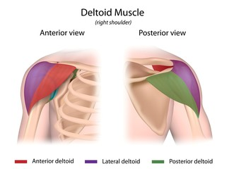 Deltoid muscle 3 parts color-coded