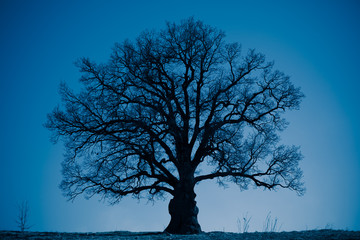 oak tree silhouette at night