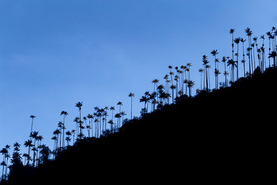 Early morning silhouette view of wax palms near the Los Nevados National Park near Salento, Colombia.