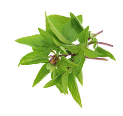 Sweet Basil or Thai basil isolated on white background, Top view.