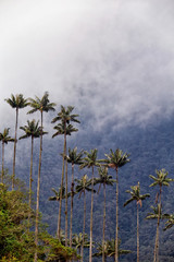 Wax palms against rolling clouds near the Cocora valley in Salento, Colombia.