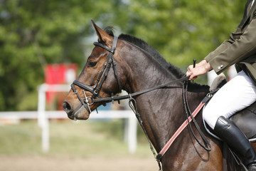 Bay colored purebred beautiful jumping horse canter on show jumping event