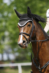 Head shot closeup of a young horse on show jumping event