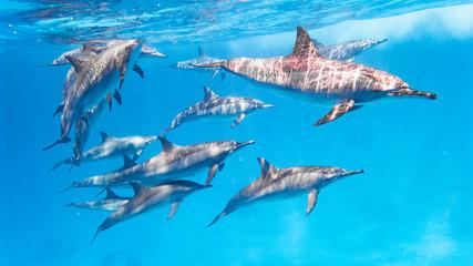 Delfin Schule im Roten Meer