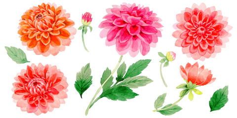 Wildflower dahlia flower in a watercolor style isolated.