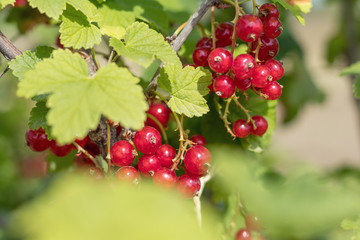 Bush of red currant  in a garden. Shallow depth of field. Sunshine.
