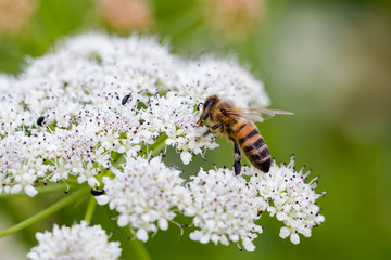 Bee pollinating small white flowers. Macro full frame