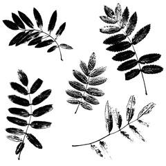 Set of rowan leaves silhouettes
