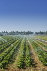 Irrigation at the field