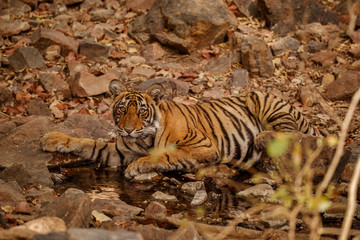 Tiger cub in the nature habitat. Tiger cub drinking water. Wildlife scene with danger animal. Hot summer in Rajasthan, India. Dry trees with beautiful indian tiger. Panthera tigris
