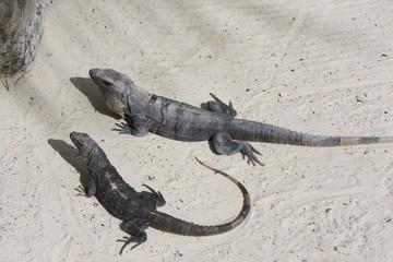 Sunbathing Lizards in Mexico